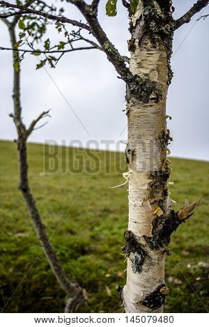 tree on a green glade, a birch, the nature