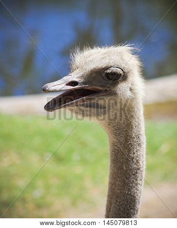 A Close Up Portrait of an Ostrich or Struthio camelus