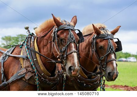 A pair of matched draft horses in full harness