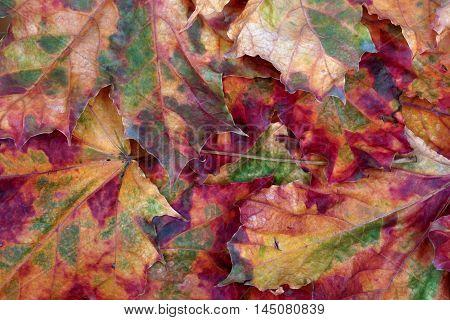 Autumn multicolor maple - leafs background .