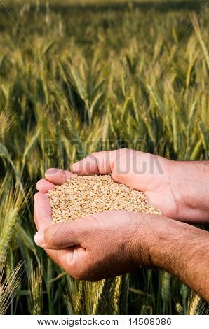 Farmer hands full of ripe wheat seeds in front of yellow field ready for the harvest