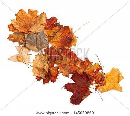 Autumn Dry Maple Leafs