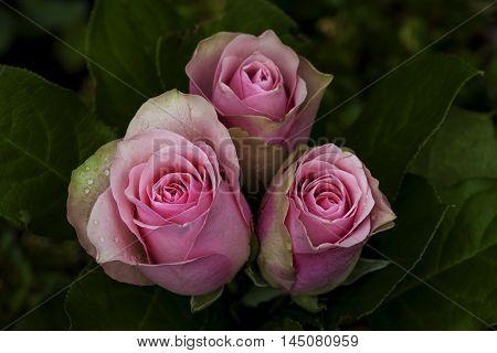 Roses Flower Bouquet Blossom Floral Impression Nostalgia