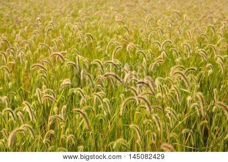 Beautiful wheat field to use as wallpaper
