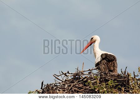 Elegant stork with its nest on an oak