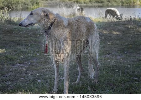 beautiful thoroughbred Russian borzoi close-up on rest