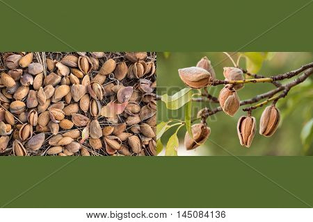 Two photos collage of ripe almonds on the branches and harvesting almonds on olive color background. Collage from 2 photos of ripe almonds. Horizontal. Daylight.