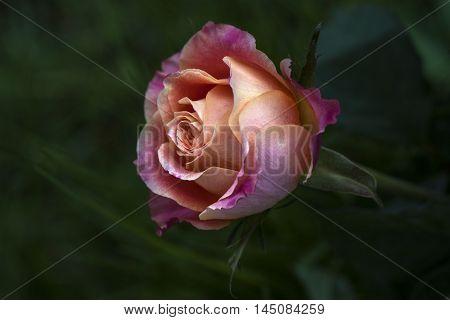 Rose Flower Pastel Nostalgia Blossom Floral Impression