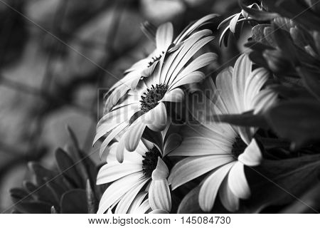close up of an African daisy - Osteospermum