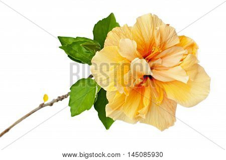 Orange-yellow hibiscus flower `Non-stop` with green leaves isolated on white background