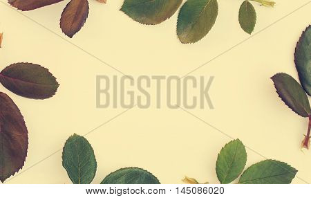 Frame with rose leaves isolated on white background. Top view flat lay. Vintage tinted.