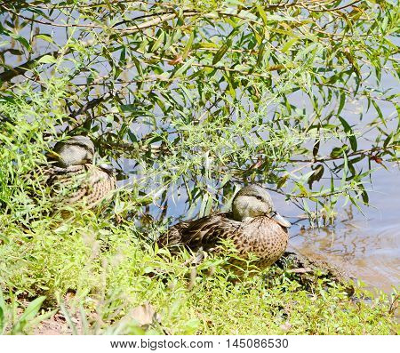 wild duck on the lake in the park