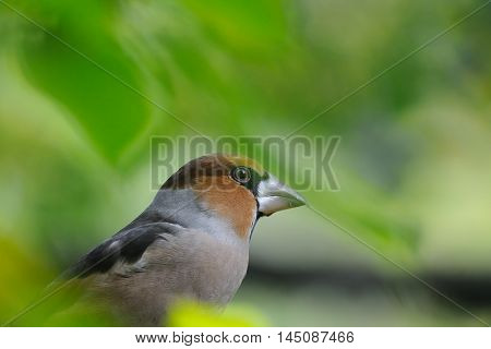 Perching Hawfinch (Coccothraustes coccothraustes) among autumn leaves. Moscow region Russia