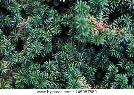 A close view of a balsam fir tree tip.