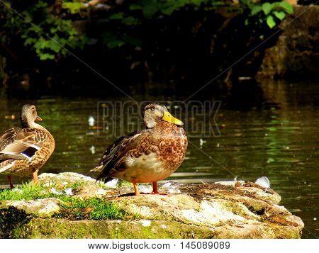 Wild mallard duck standing on rock in pond