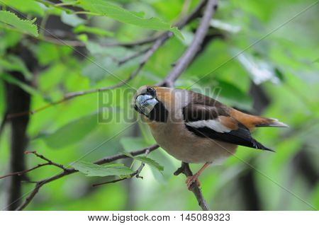 Perching Hawfinch (Coccothraustes coccothraustes) at tree in summer. Moscow region Russia