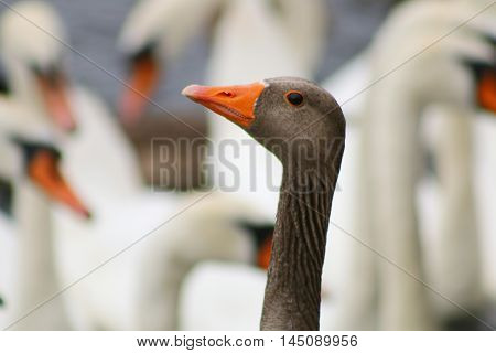 A lone Greylag Goose in a flock of Mute Swans