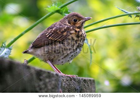 A baby Song Thrush in the undergrowth