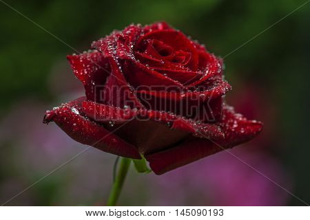Rose Flower Blossom Floral Romantic Love Impression
