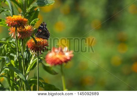 Red Admiral (Vanessa atalanta) butterfly feeding on Strawflower (Xerochrysum bracteatum). Blurred background with place for text.