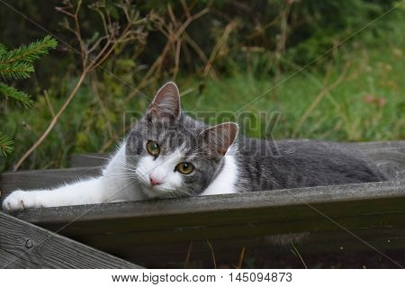 A cat lying and staring in the garden.
