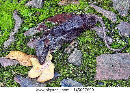 Dead Big Rat And Spilled  Peels The Potatoes