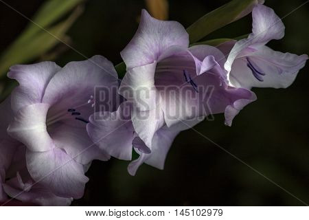 Pastel Gladiolus Flower Garden Bloosom Sentiment Impression