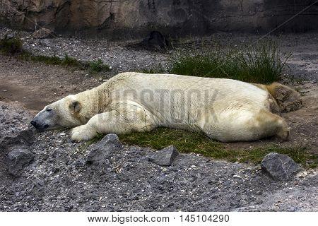 Polar Bear Animal Relax Slumber Dream Wildlife