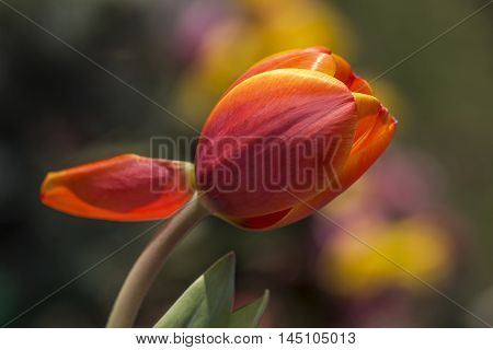 Tulip Flower Spring Blossom Colorful Orange Impression