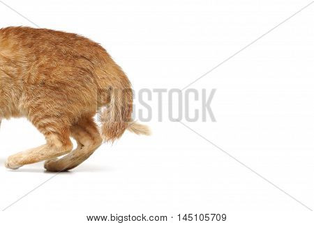 A young yellow cat with a bent tail / Cat with broken tail isolated on white