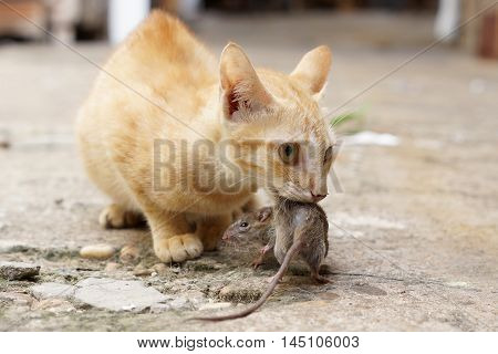 A small yellow cat caching a mouse
