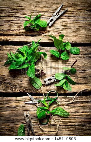 Bunches of fresh mint with scissors and clothespins. On wooden background.
