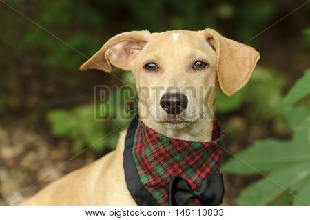 Cute dog costume is a puppy dog all dressed up in his bow tie best.