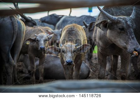 Many Sea Buffaloes residents of enclosure at Talay Noi is a river basin at the topmost of Songkhla Lake. Phatthalung Province Thailand.