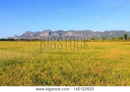 Landscape of yellow rice field in Khao Sam Roi Yot National Park Thailand