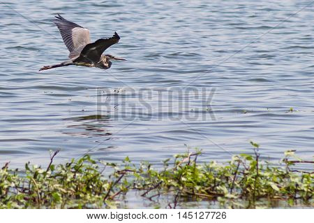 A Great Blue Heron soaring gracefully over a body of water