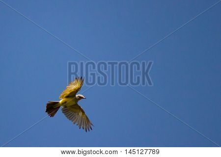 Grey and yellow bird soaring overhead looking down