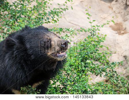 Asiatic black bear endangered, fur, garden  zoo