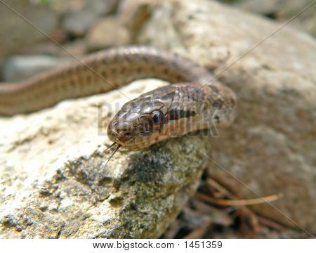 Dione Snake (Elaphe Dione)