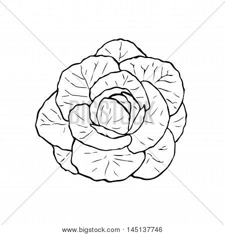 Illustration of black and white cabbage. Hand drawn cabbage