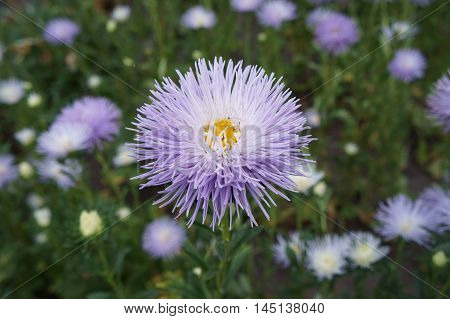 Aster callistephus needle pale violet flower with yellow center.