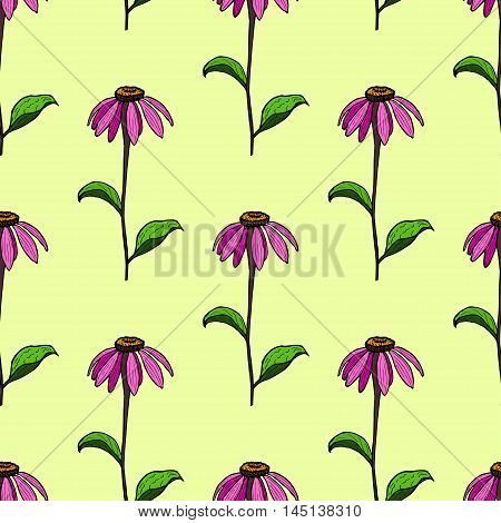 seamless pattern from flowers of coneflowers. Color hand drawing flower Echinacea.