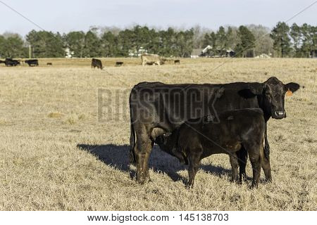 Angus calf nursing with cattle in the background and blank area to the left