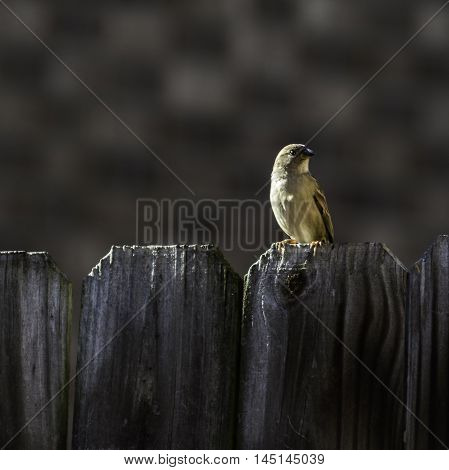 Finch sitting on a fence with blurred background