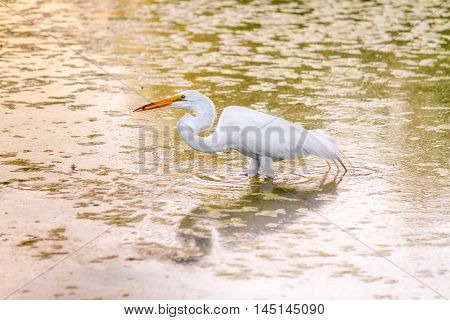 A Great White Heron wades in murky yellow water at sunset with a fish held in beak. The water is reflecting the yellow sunset and looks swampy with a lot of algae.