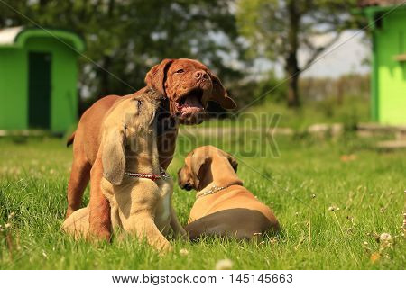 Dogue de Bordeaux and Boerboel puppies playing