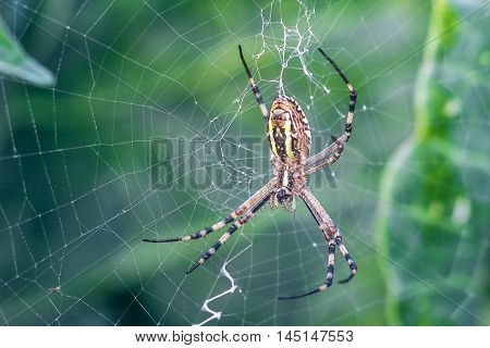 Yellow-black orb-weaver spider. Argiope Bruennichi, or the wasp-spider on the web, cobweb against green natural background, closeup.