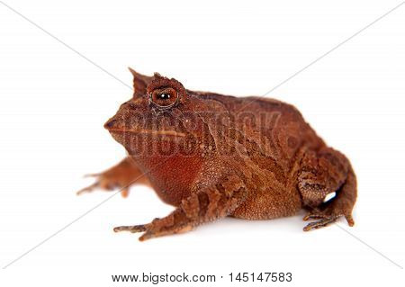 Cerrado toad, Proceratophrys boiei, isolated on white background