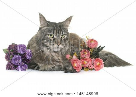 maine coon in front of white background