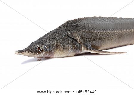 Fresh sturgeon on a white background. Shows a portion of fish